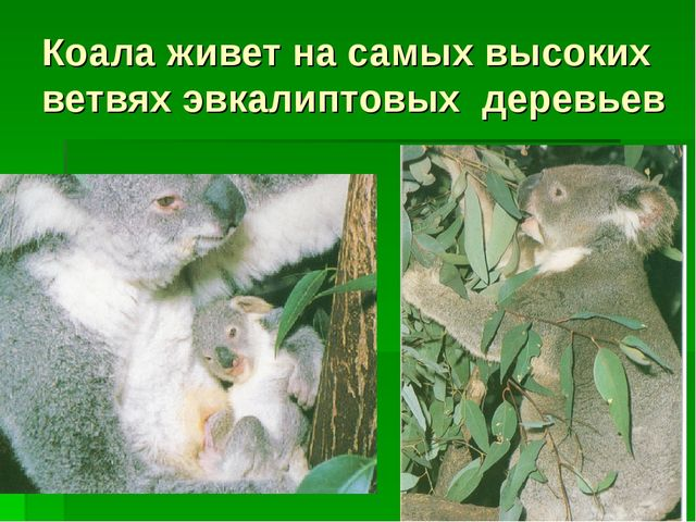 Коала живет на самых высоких ветвях эвкалиптовых деревьев