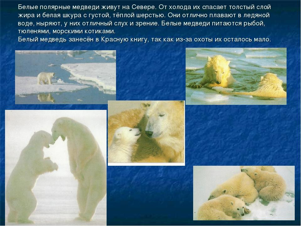 Белые полярные медведи живут на Севере. От холода их спасает толстый слой жир...