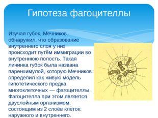 Изучая губок, Мечников обнаружил, что образование внутреннего слоя у них прои