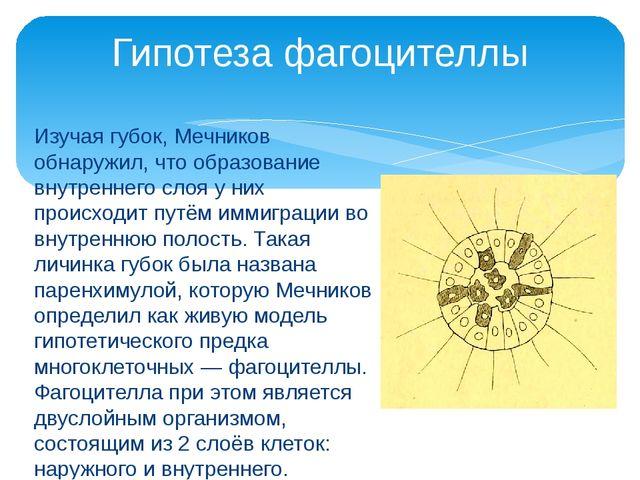 Изучая губок, Мечников обнаружил, что образование внутреннего слоя у них прои...