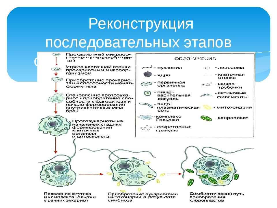 Реконструкция последовательных этапов становления клетки эукариот