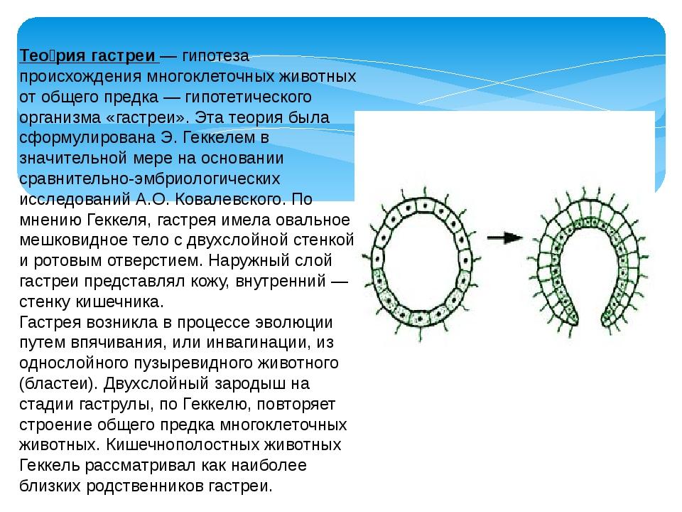 Тео́рия гастреи — гипотеза происхождения многоклеточных животных от общего пр...