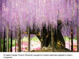 В парке города Точиги (Япония) находится самое красивое дерево в мире – глиц