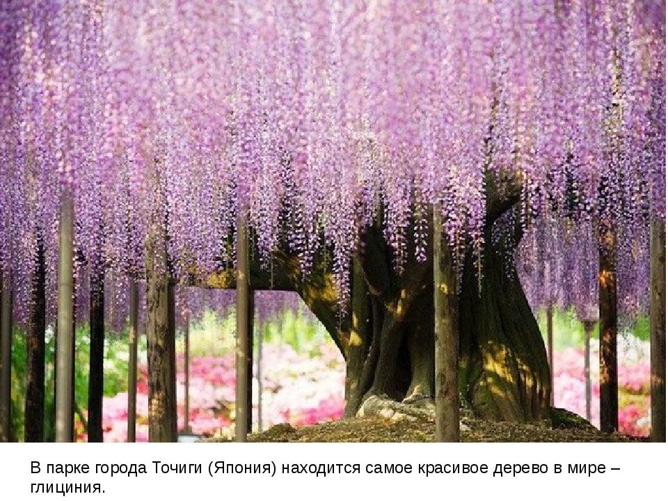 В парке города Точиги (Япония) находится самое красивое дерево в мире – глиц...