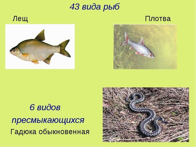 43 вида рыб Лещ Плотва 6 видов пресмыкающихся Гадюка обыкновенная