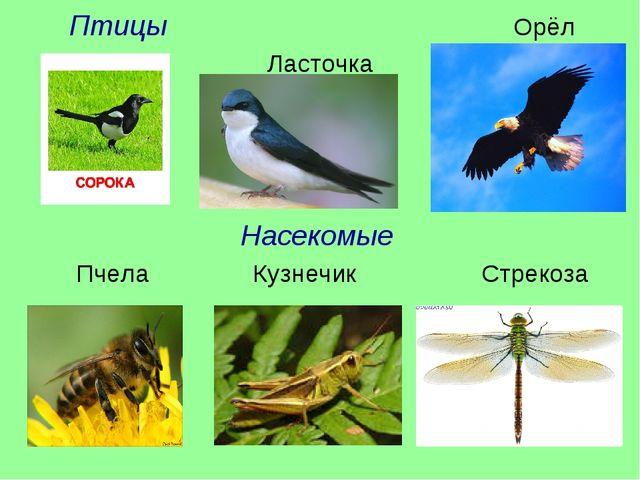 Птицы Орёл Ласточка Насекомые Пчела Кузнечик Стрекоза