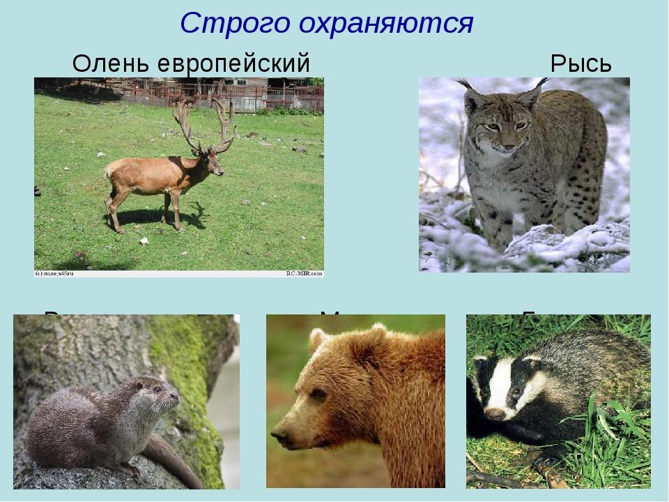 Строго охраняются Олень европейский Рысь Выдра Медведь Барсук