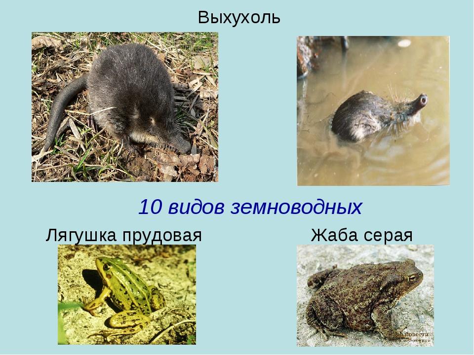 Выхухоль 10 видов земноводных Лягушка прудовая Жаба серая