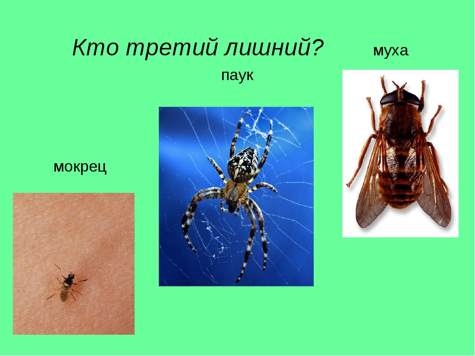 Кто третий лишний? муха паук мокрец