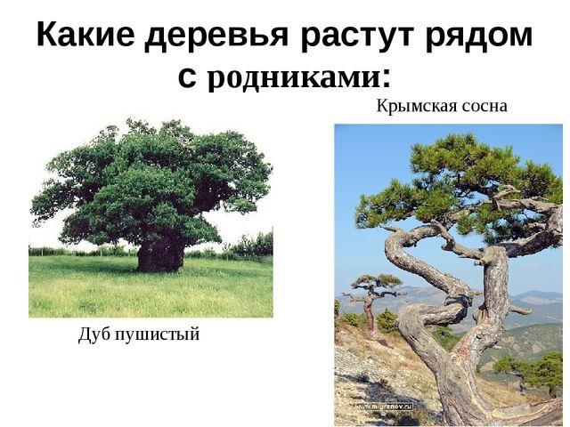 Какие деревья растут рядом с родниками: Дуб пушистый Крымская сосна