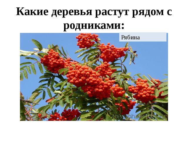 Какие деревья растут рядом с родниками: Рябина
