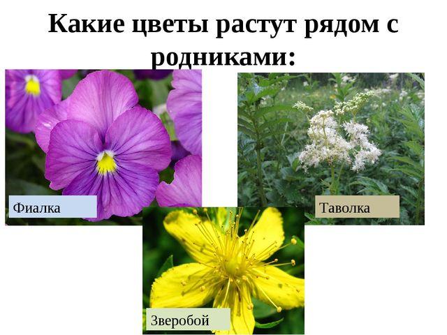 Какие цветы растут рядом с родниками: Фиалка Зверобой Таволка