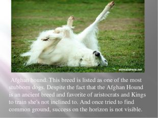 Afghan hound. This breed is listed as one of the most stubborn dogs. Despite