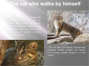 The cat who walks by himself Cat-ancient animal possessing intelligence and