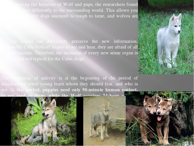 Comparing the behavior of Wolf and pups, the researchers found that they r...