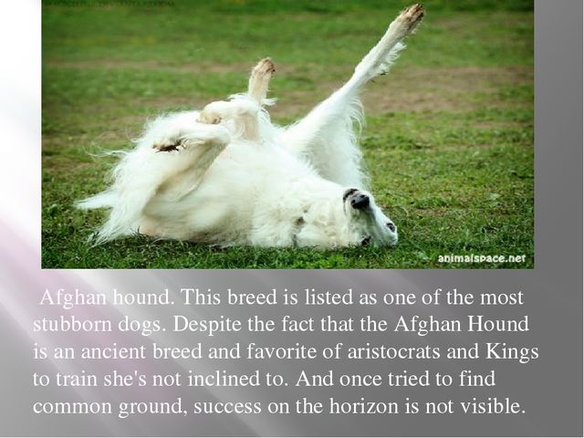 Afghan hound. This breed is listed as one of the most stubborn dogs. Despite...