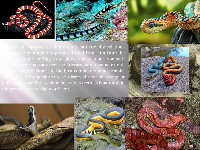 Snakes in captivity gradually enter into friendly relations with carers man...