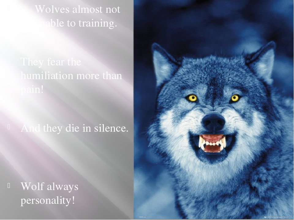 Wolves almost not amenable to training. They fear the humiliation more than...
