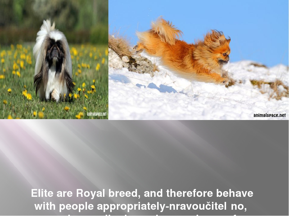 Elite are Royal breed, and therefore behave with people appropriately-nravou...