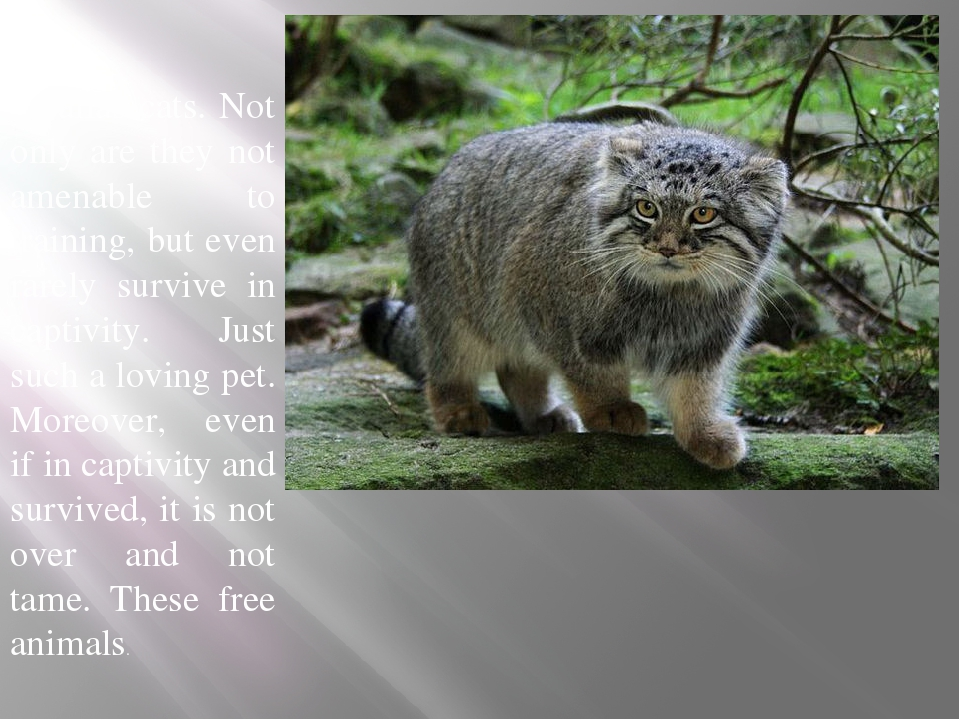 Pallas cats. Not only are they not amenable to training, but even rarely sur...
