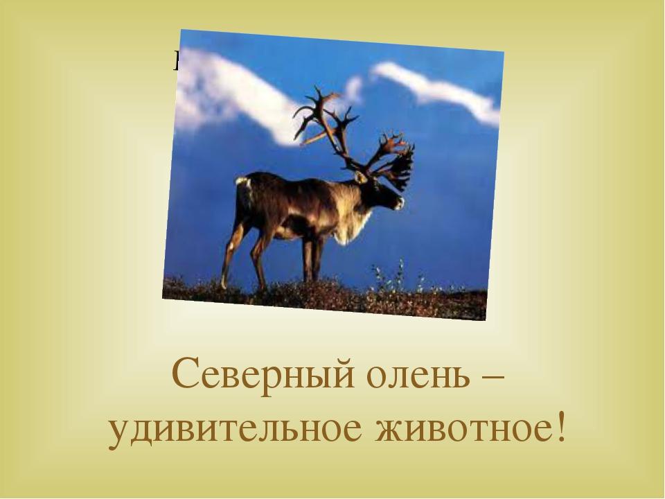 Северный олень – удивительное животное!