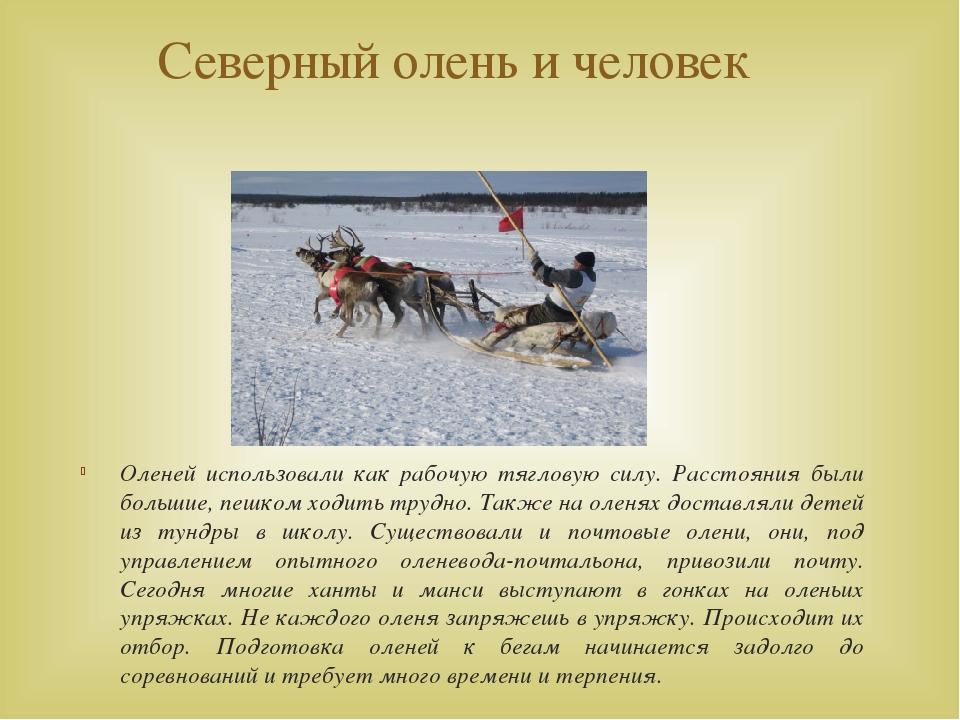 Северный олень и человек Оленей использовали как рабочую тягловую силу. Расст...