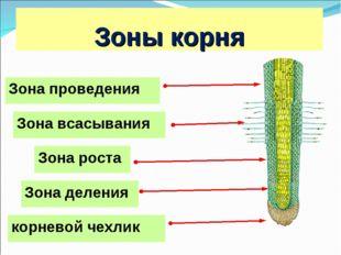 Зоны корня Зона роста Зона деления Зона проведения корневой чехлик Зона всасы