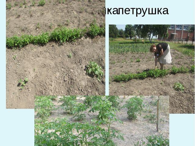 Отдел пряно-вкусовых растений петрушка петрушка