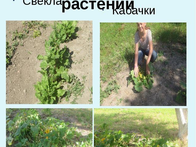 Отдел лекарственных растений Свекла Кабачки