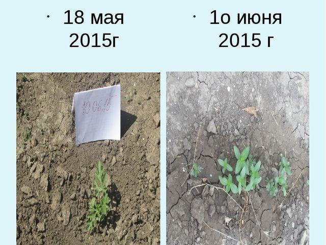 Наблюдаем за ростом арбузов и дынь 18 мая 2015г 1о июня 2015 г