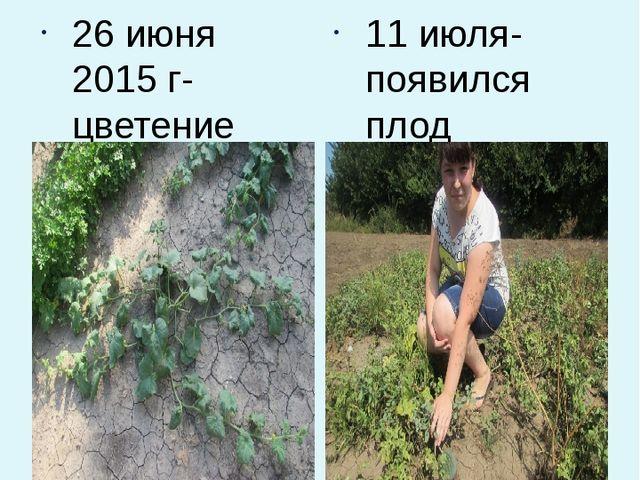 Продолжаем наблюдение 26 июня 2015 г- цветение арбузов 11 июля- появился плод