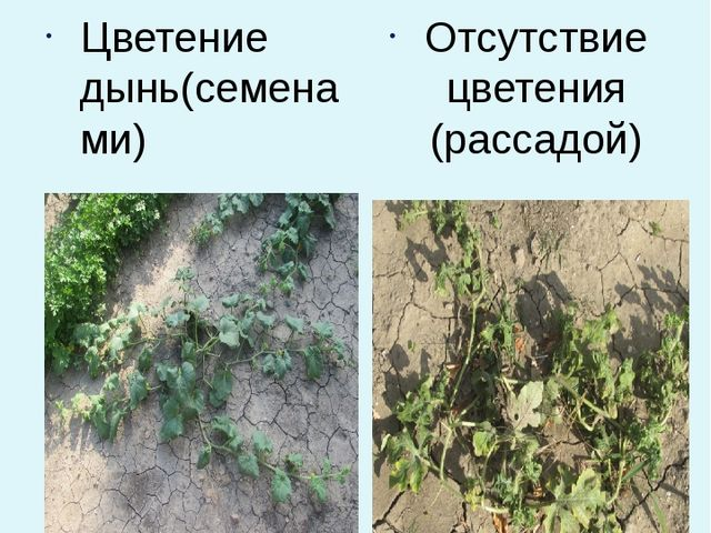 Цветение дынь(семенами) Отсутствие цветения (рассадой)