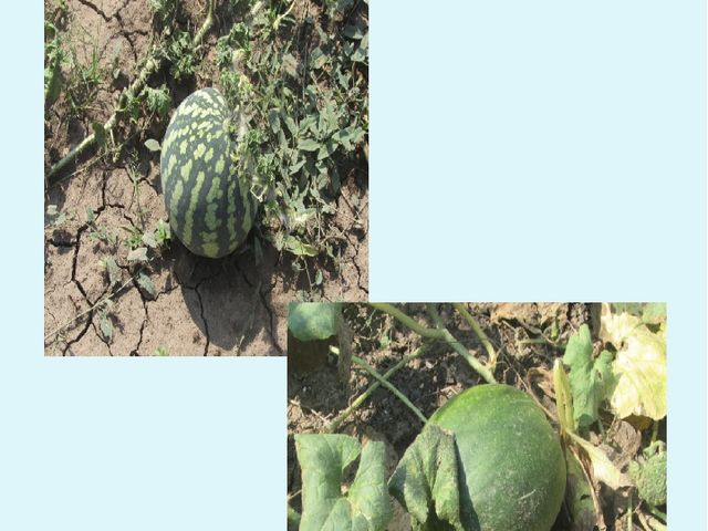 15 августа – уборка урожая