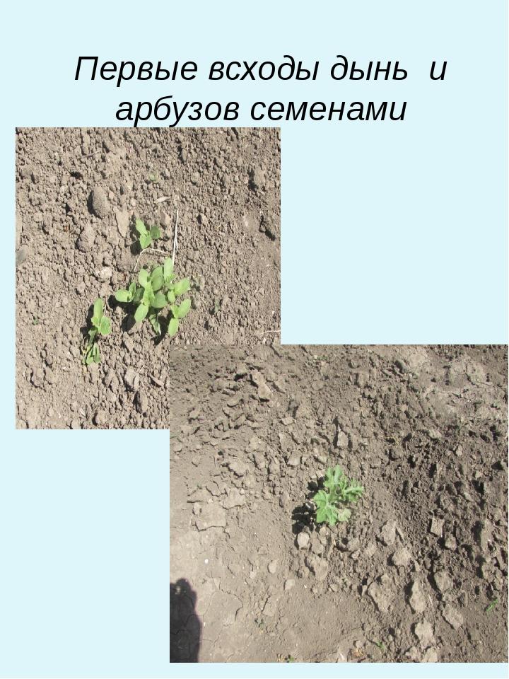 Первые всходы дынь и арбузов семенами
