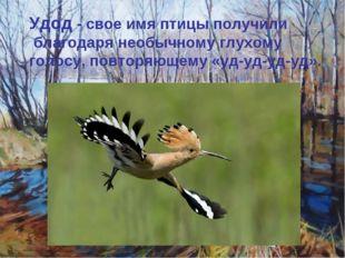Удод - свое имя птицы получили благодаря необычному глухому голосу, повторяющ