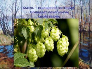 Хмель – вьющееся растение. Обладает лечебными свойствами.