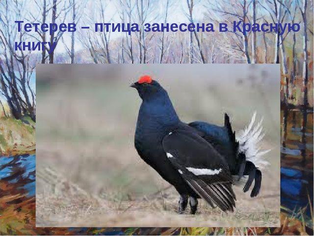 Тетерев – птица занесена в Красную книгу