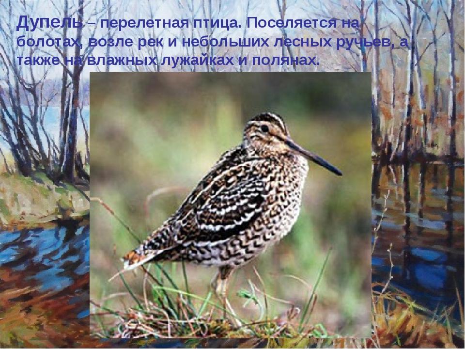 Дупель – перелетная птица. Поселяется на болотах, возле рек и небольших лесны...