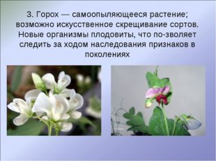 3. Горох — самоопыляющееся растение; возможно искусственное скрещивание сорто