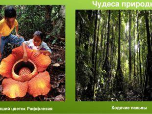 Крупнейший цветок Раффлезия Ходячие пальмы Чудеса природы
