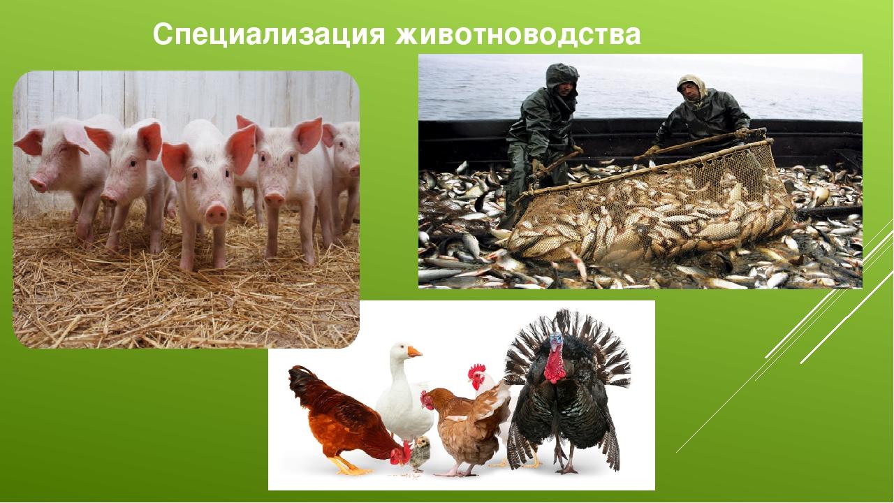 Специализация животноводства