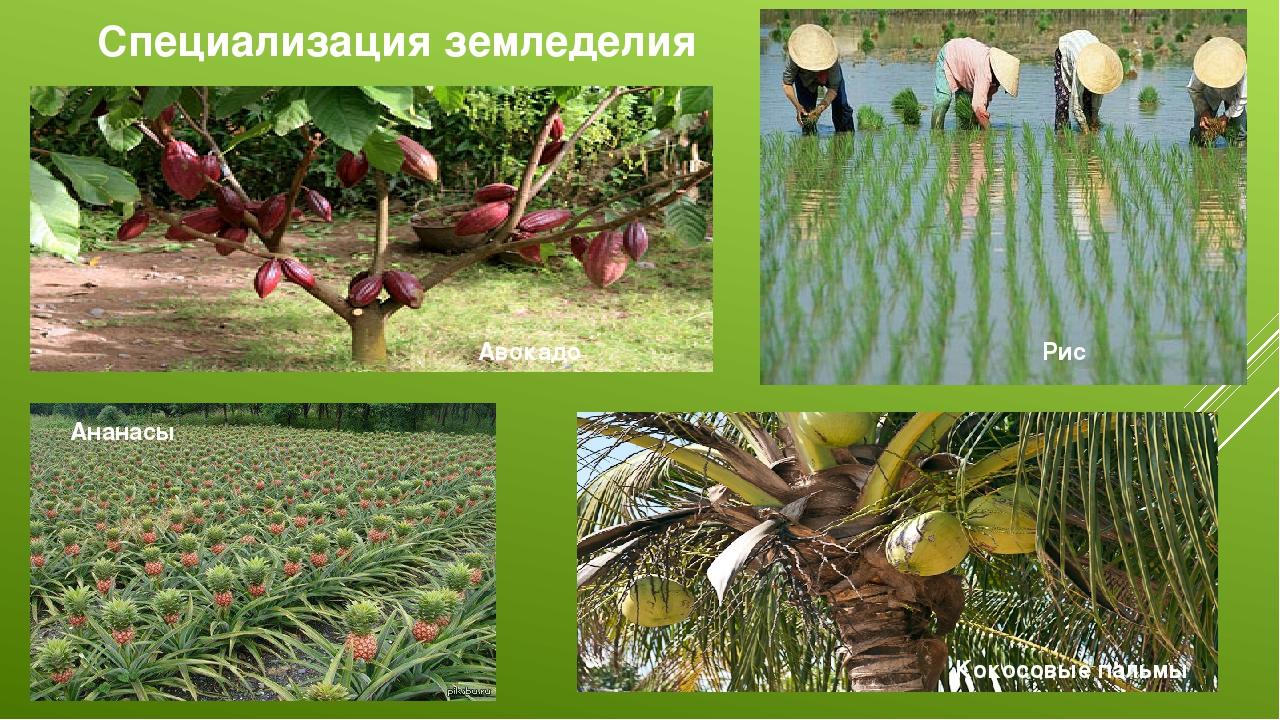 Специализация земледелия Авокадо Рис Ананасы Кокосовые пальмы