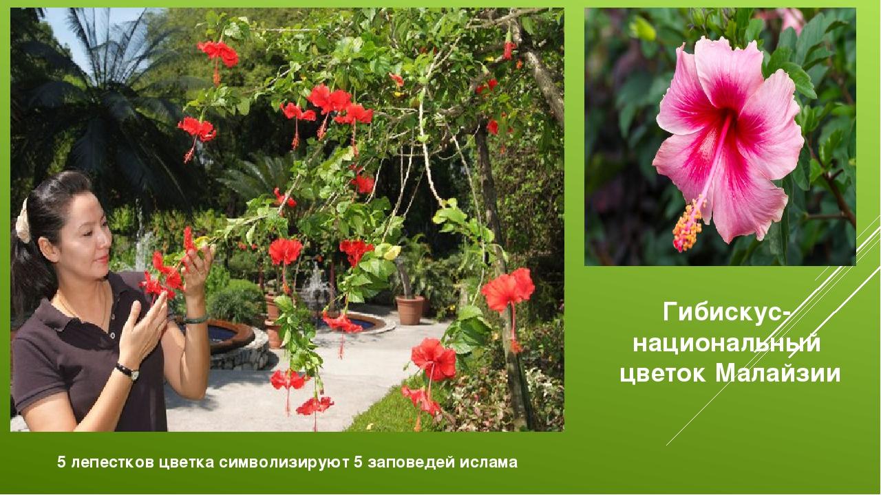 Гибискус-национальный цветок Малайзии 5 лепестков цветка символизируют 5 запо...