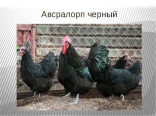Авсралорп черный