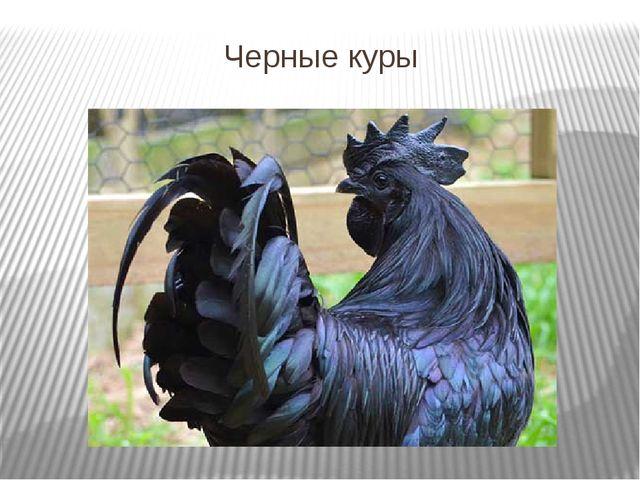 Черные куры