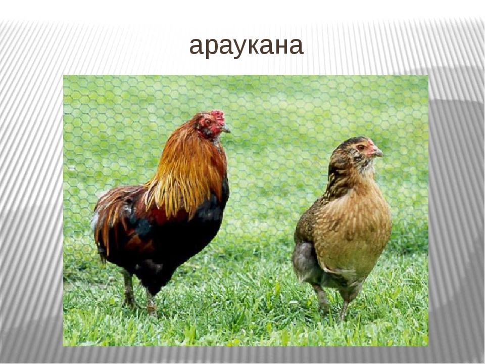 араукана