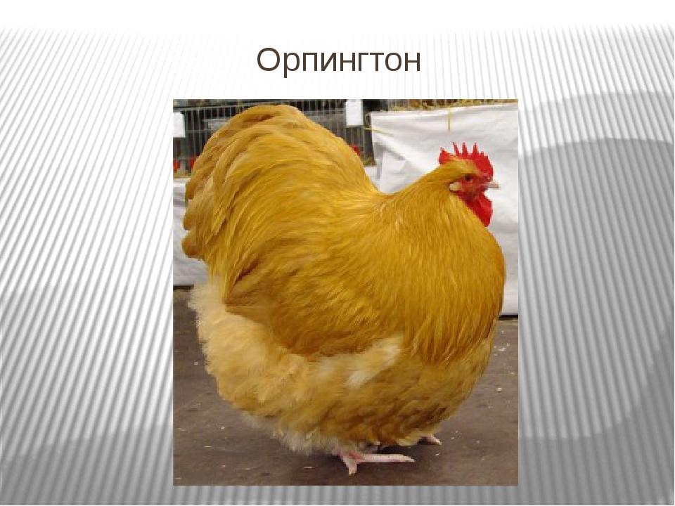 Орпингтон