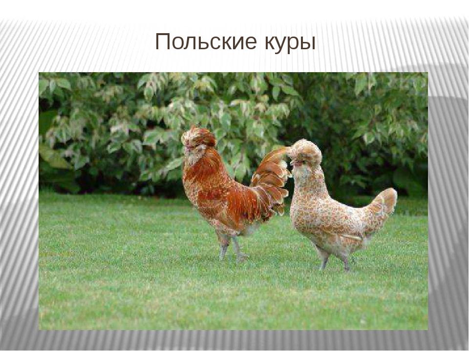 польская хохлатая порода кур фото только