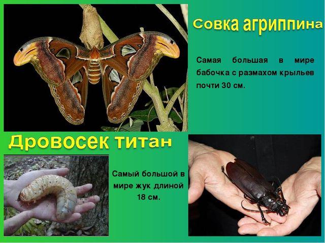 Самая большая в мире бабочка с размахом крыльев почти 30 см. Самый большой в...