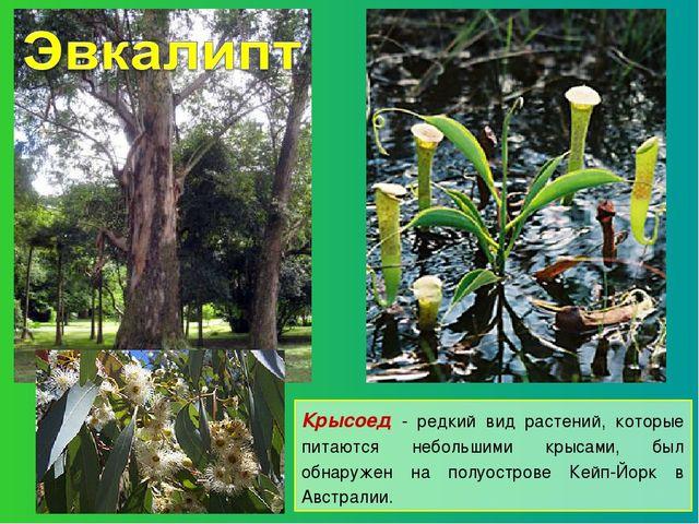 Крысоед - редкий вид растений, которые питаются небольшими крысами, был обнар...
